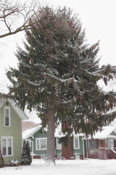 pine tree 2012