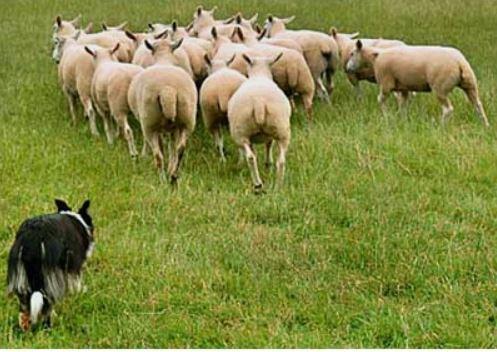 bob gray driving sheep