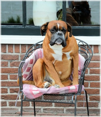 dog in a chair